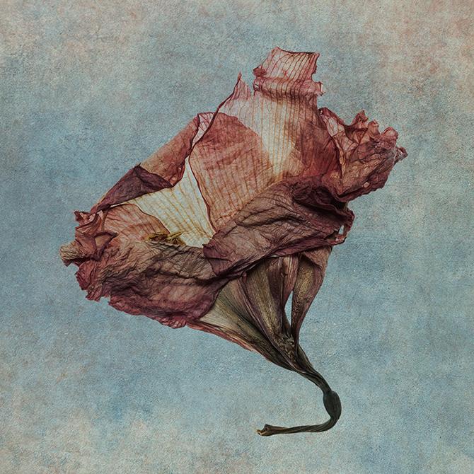 António Chaves | sete flores secas | 2016 - fotografia de arte | art photography
